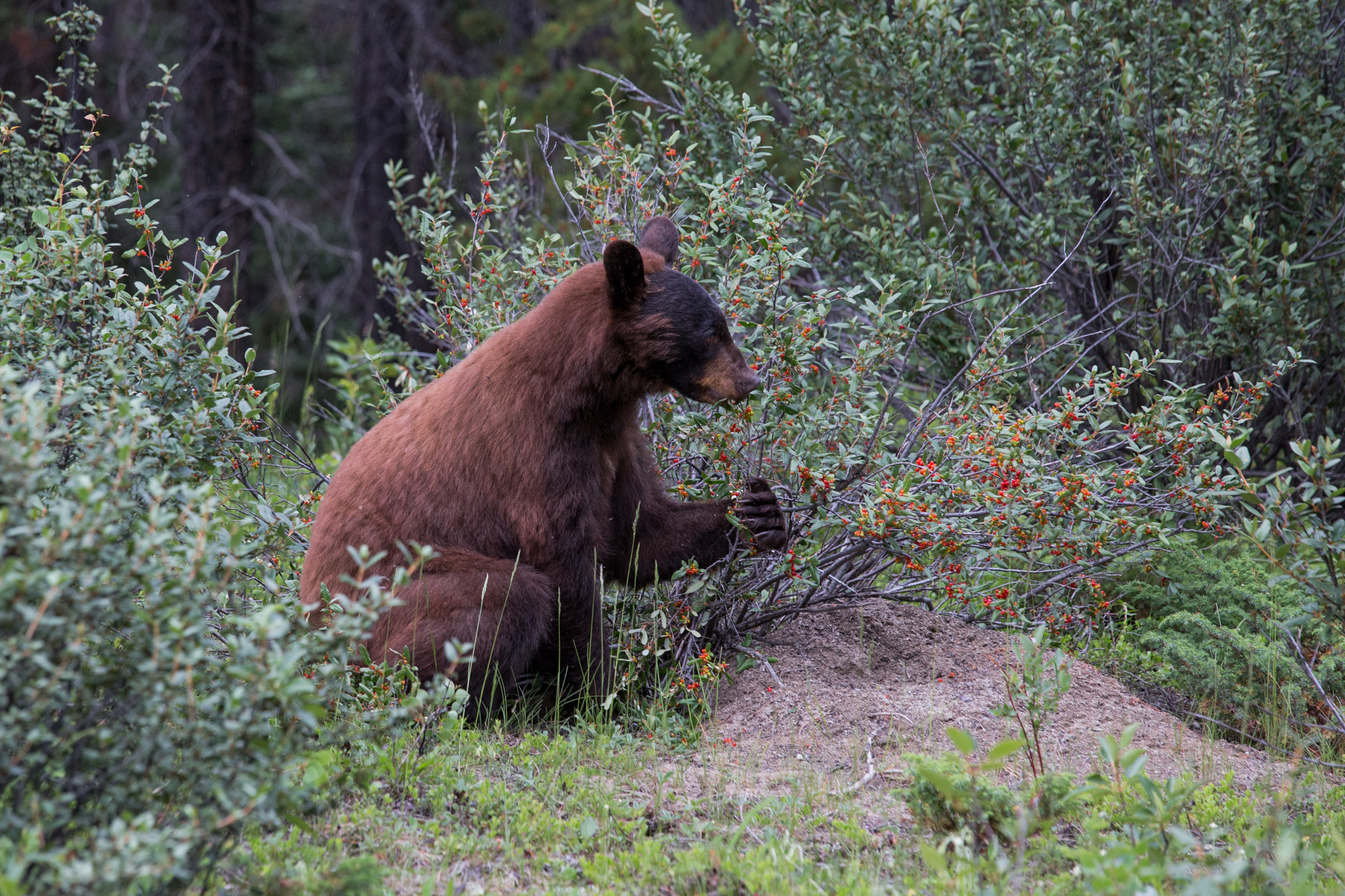 Beary Good - a bear eating some berries.
